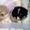 Патиколорные  щенки Померанского   Шпица   #1387927