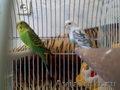 продам двух попугайчиков с клеткой.