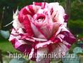 Саженцы привитых роз