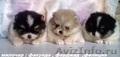 Патиколорные  щенки Померанского   Шпица